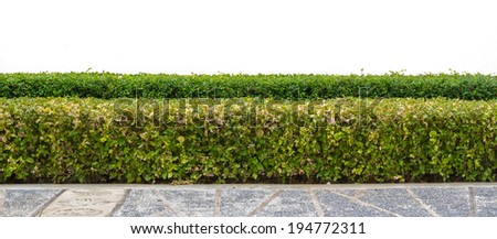 sidewalk and green hedge ,Green Leaves Wall, isolate - stock photo