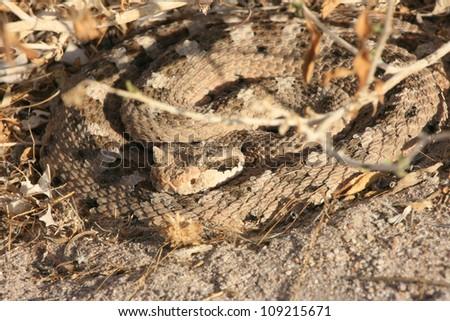 Sidewinder Rattlesnake (Crotalus cerastes) - stock photo