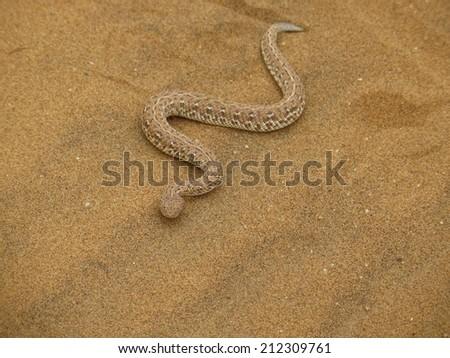 sidewinder snake - stock photo