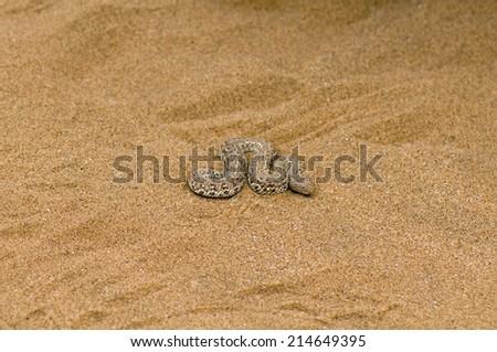 Sidewinder snake in desert - stock photo