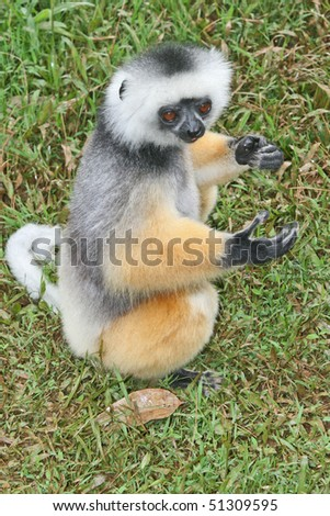 Sifaka, Madagaskar - stock photo