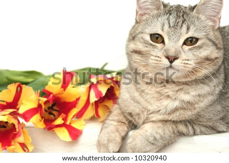 Sight of a grey cat with red tulips