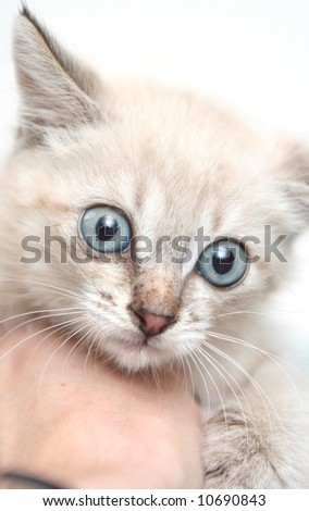Sight of a small grey kitten