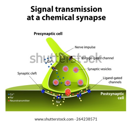 Signal transmission at a chemical synapse. one neuron releases neurotransmitter molecules into a synaptic cleft that is adjacent to another neuron.  - stock photo