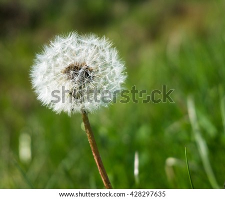 signs of spring: dandelion seed head, called  blow balls containing many single-seeded fruits which enables wind-aided dispersal over long distances