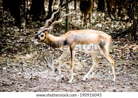 sika deer - stock photo
