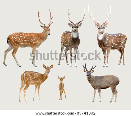 sika deer, axis deer, samba deer isolated on gray background - stock photo