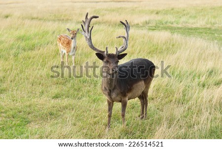 Sika deer (Cervus nippon, also known as spotted deer or Japanese deer) - stock photo