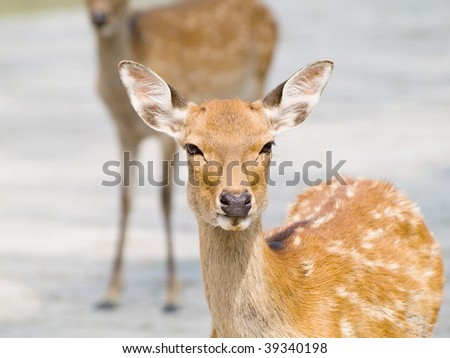 Sika Deer (Cervus nippon) in Nara Park, Japan. In the park, there are over 1000 wild sika deer posing for tourists. - stock photo