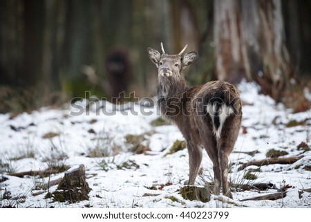 Sika deer, Cervus nippon nippon is forest horned creature/wild animal in the nature habitat/Czech Republic - stock photo