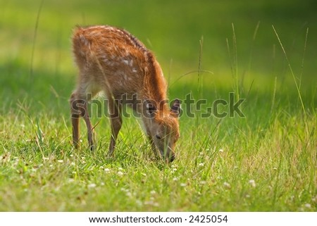 Sika Deer fawn at Assateague Island National Seashore, Maryland - stock photo