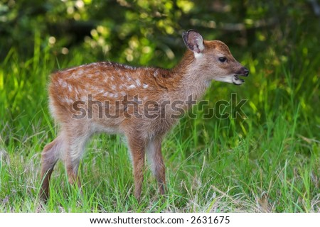 Sika Deer Fawn at Assateague Island National Seashore - Maryland - stock photo