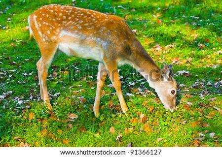 Sika deer female eating grass - stock photo