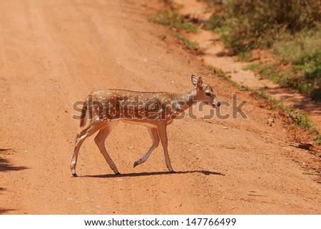 Sika deer in jungls of Sri Lanka - stock photo