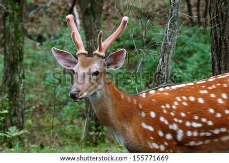 Sika deer in the far east - stock photo