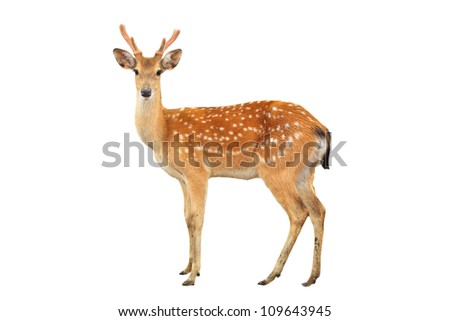 sika deer isolated on white background - stock photo