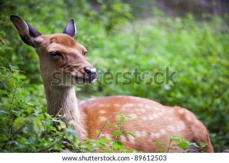 sika deer (lat. Cervus nippon) doe - stock photo