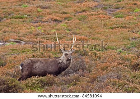 sika stag in autumn heather - stock photo