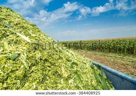 Silage corn maize green stems unripe on field - stock photo