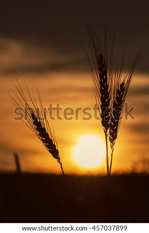 silhouette a wheat ears on the sunset background. majestic sunrise on wheat field. dramatic  picturesque summer scene. Autumn. beauty in the world. harvest concept