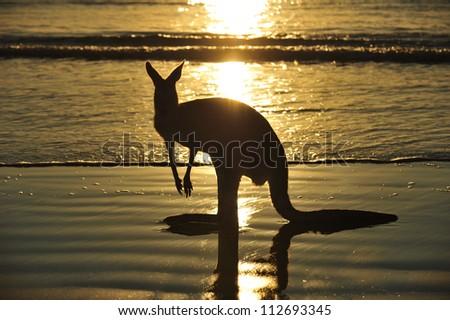 silhouette australian eastern grey kangaroo on beach at sunrise, mackay, north queensland, australia - stock photo
