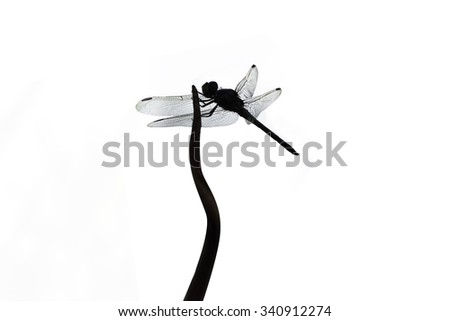silhouette dragonfly isolated on white background stock photo