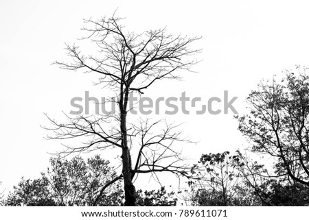 Silhouette dry tree on a sky background