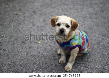 Silhouette edge The white  Dog wearing a sweater looking in-Thailand. - stock photo
