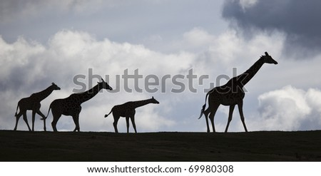 Silhouette Family of African Giraffes Walking on Ridge Top With Clouds Behind - stock photo