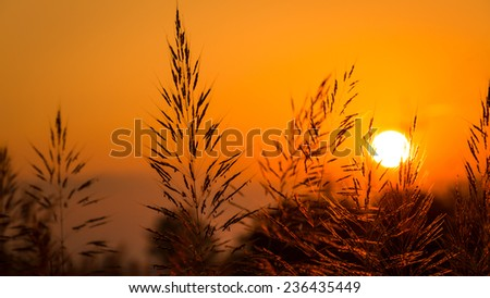 silhouette field grass and sunset - stock photo