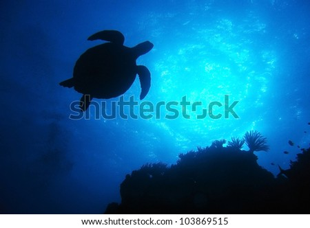 silhouette green turtle swimming in blue ocean,great barrier reef, cairns, queensland, coral sea, australia pacific loggerhead - stock photo