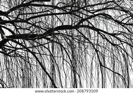 Silhouette in black and white of a weeping tree - stock photo