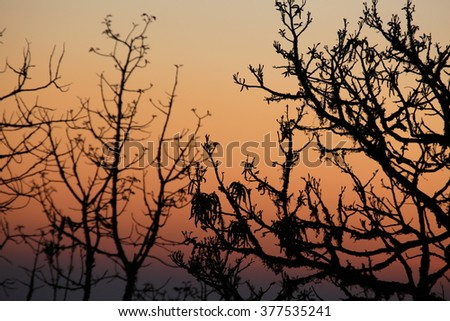 Silhouette of a Azalea tree with the sunset