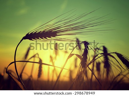 silhouette of a barley field in sunset - stock photo