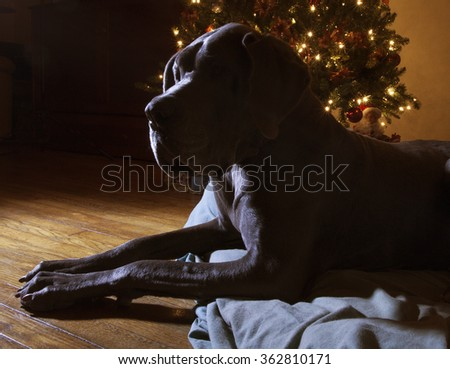 Silhouette of a big Great Dane laying next to a Christmas tree - stock photo