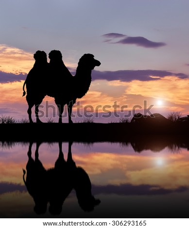 Silhouette of a camel with a reflection on the banks of the water against the evening sky - stock photo