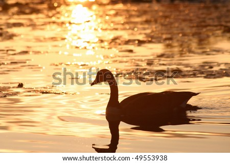 Silhouette of a Canadian goose in the lake.