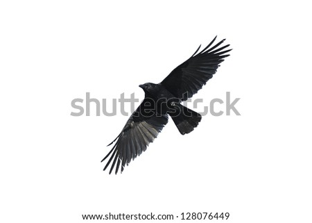 Silhouette of a crow with wide-spread wings isolated against white