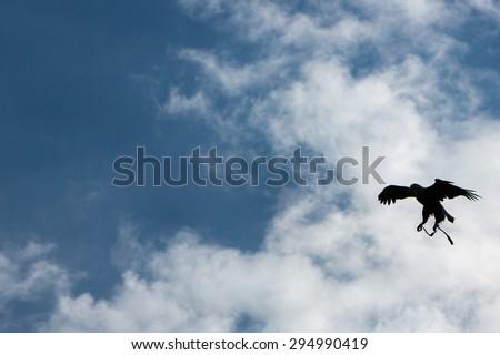 Silhouette of a flying American Bald Eagle at an outdoor bird sanctuary near Otavalo, Ecuador - stock photo