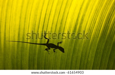 Silhouette of a gecko lizard on a waxy tropical leaf viewed from underneath in the sunshine. - stock photo