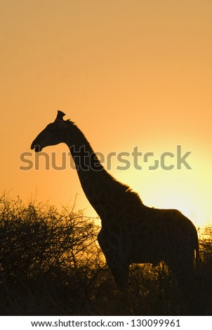 Silhouette of a giraffe - stock photo