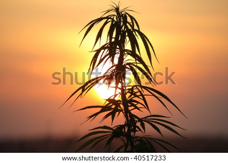 Silhouette of a hemp plant at sunset - The Netherlands - stock photo