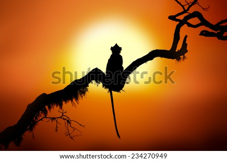 Silhouette of a monkey at sunset - stock photo