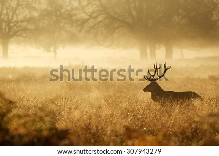 Silhouette of a red deer stag in the mist - stock photo