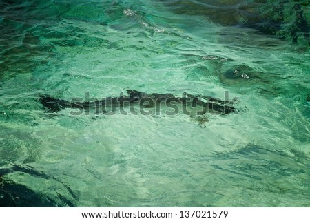 Silhouette of a tarpon fish in the Caribbean Sea