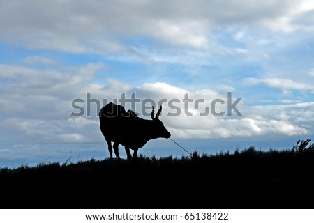 Silhouette of a zebu: shot in Madagascar - stock photo