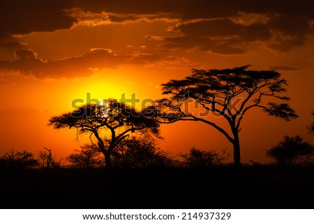 Silhouette of African acacia tree in the last daylight - stock photo