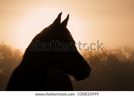 Silhouette of an Arabian horse in heavy fog at sunrise
