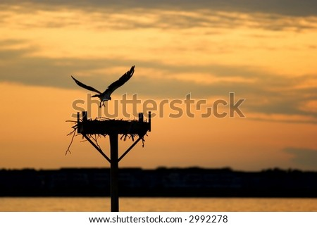 Silhouette of an osprey landing on a nesting post