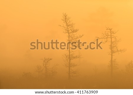 Silhouette of bog pines in warm sunlight. - stock photo